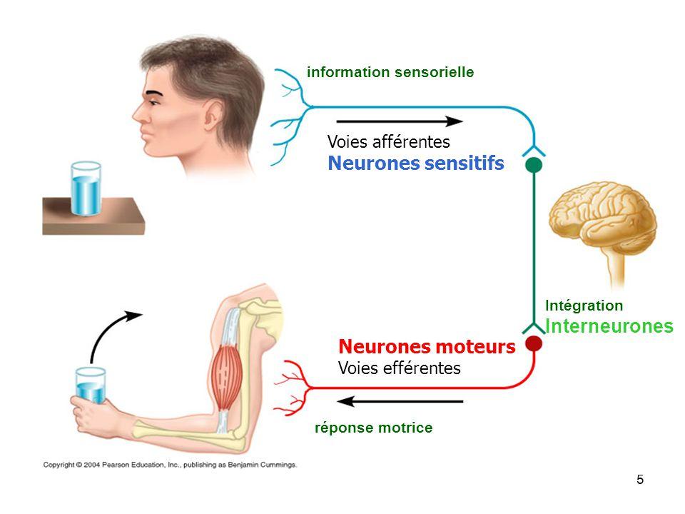 5 information sensorielle Intégration Interneurones réponse motrice Voies afférentes Neurones sensitifs Neurones moteurs Voies efférentes