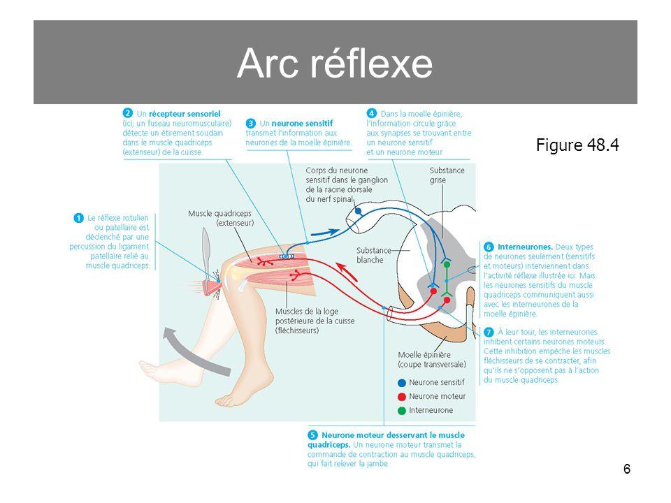 6 Arc réflexe Figure 48.4