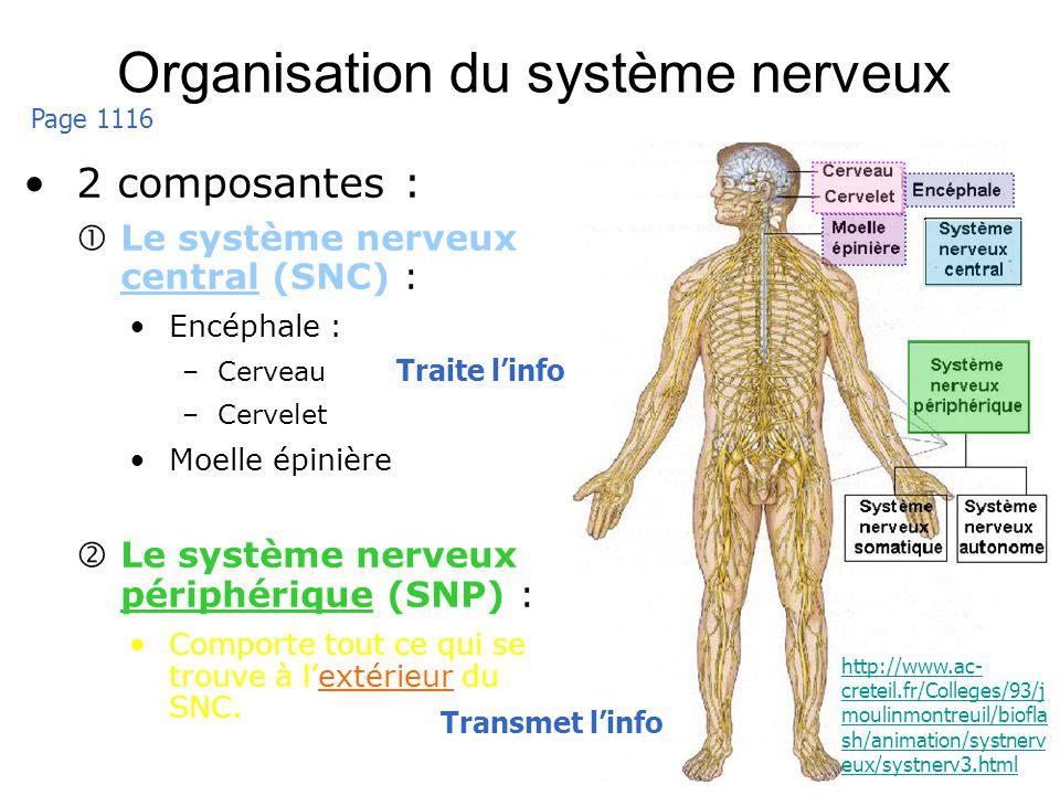 7 Organisation du système nerveux 2 composantes : Le système nerveux central (SNC) : Encéphale : –Cerveau –Cervelet Moelle épinière Le système nerveux
