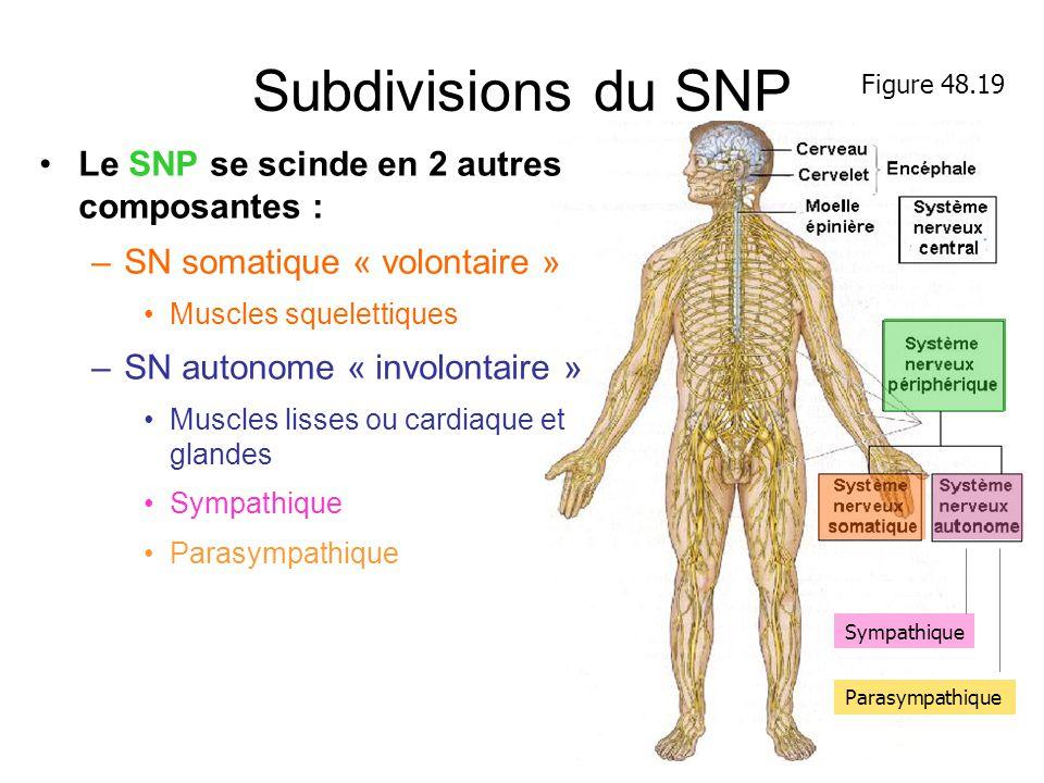 Subdivisions du SNP Le SNP se scinde en 2 autres composantes : –SN somatique « volontaire » Muscles squelettiques –SN autonome « involontaire » Muscle