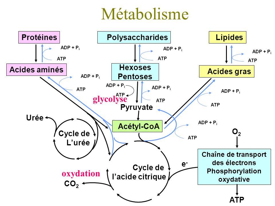 Métabolisme Acétyl-CoA Pyruvate ATP ADP + P i Polysaccharides Hexoses Pentoses ADP + P i ATP ADP + P i ATP ADP + P i ATP ADP + P i ATP Lipides Acides