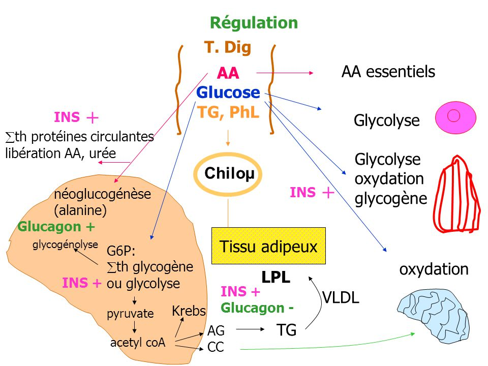 Régulation T. Dig AA Glucose TG, PhL AA essentiels Glycolyse oxydation glycogène oxydation Chiloµ Tissu adipeux LPL th protéines circulantes libératio