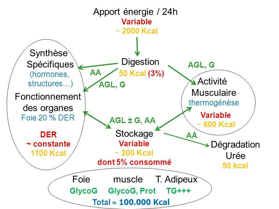 Apport énergie / 24h Variable ~ 2000 Kcal Digestion 50 Kcal (3%) Stockage Variable ~ 200 Kcal dont 5% consommé Fonctionnement des organes Foie 20 % DE