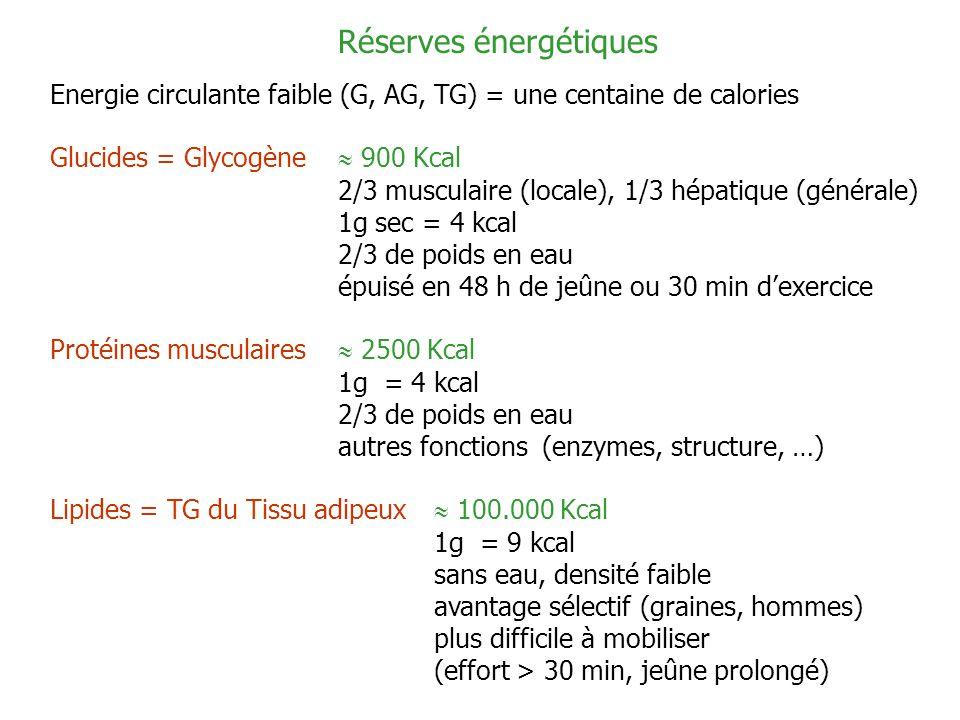 Réserves énergétiques Energie circulante faible (G, AG, TG) = une centaine de calories Glucides = Glycogène 900 Kcal 2/3 musculaire (locale), 1/3 hépa