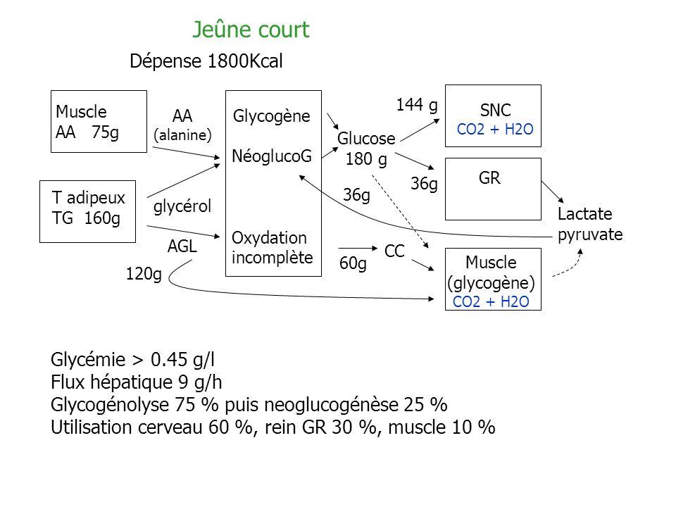 Jeûne court Dépense 1800Kcal Muscle AA 75g T adipeux TG 160g AA (alanine) glycérol AGL Glycogène NéoglucoG Oxydation incomplète CC Glucose 180 g SNC C
