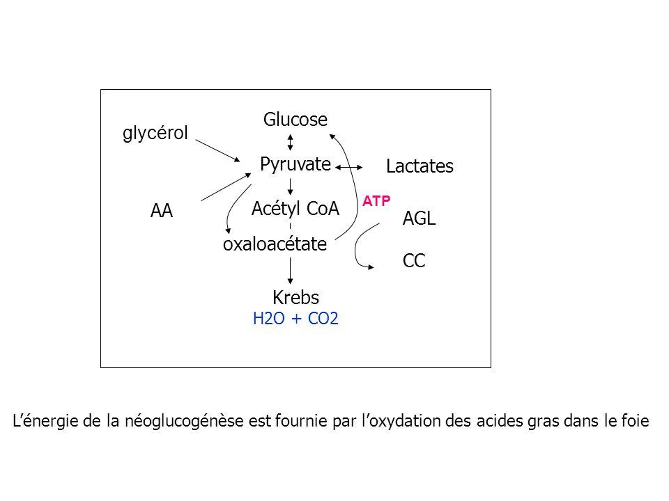 Glucose Pyruvate Acétyl CoA Krebs H2O + CO2 AA Lactates AGL CC oxaloacétate Lénergie de la néoglucogénèse est fournie par loxydation des acides gras d