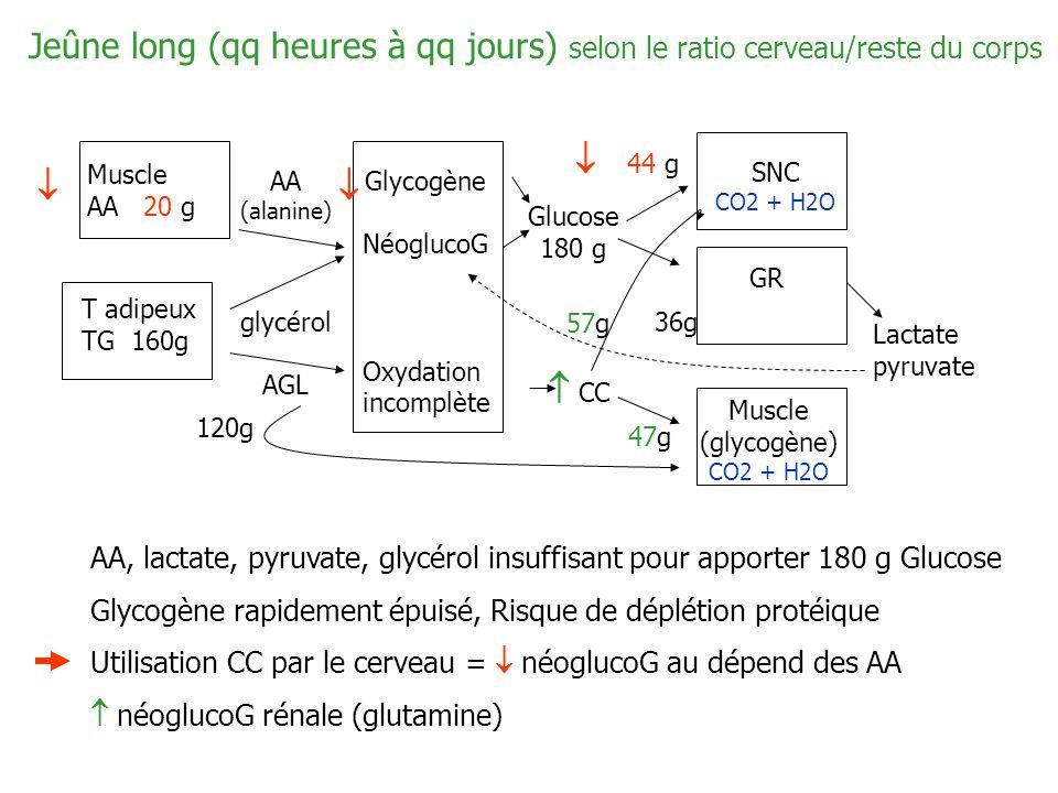 Jeûne long (qq heures à qq jours) selon le ratio cerveau/reste du corps Muscle AA 20 g T adipeux TG 160g AA (alanine) glycérol AGL Glycogène NéoglucoG