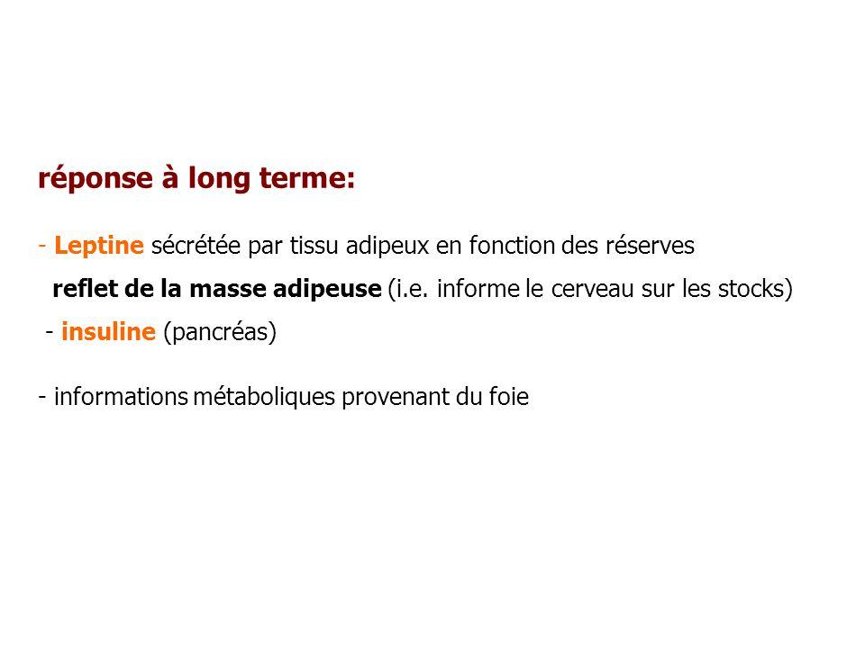 réponse à long terme: - Leptine sécrétée par tissu adipeux en fonction des réserves reflet de la masse adipeuse (i.e. informe le cerveau sur les stock