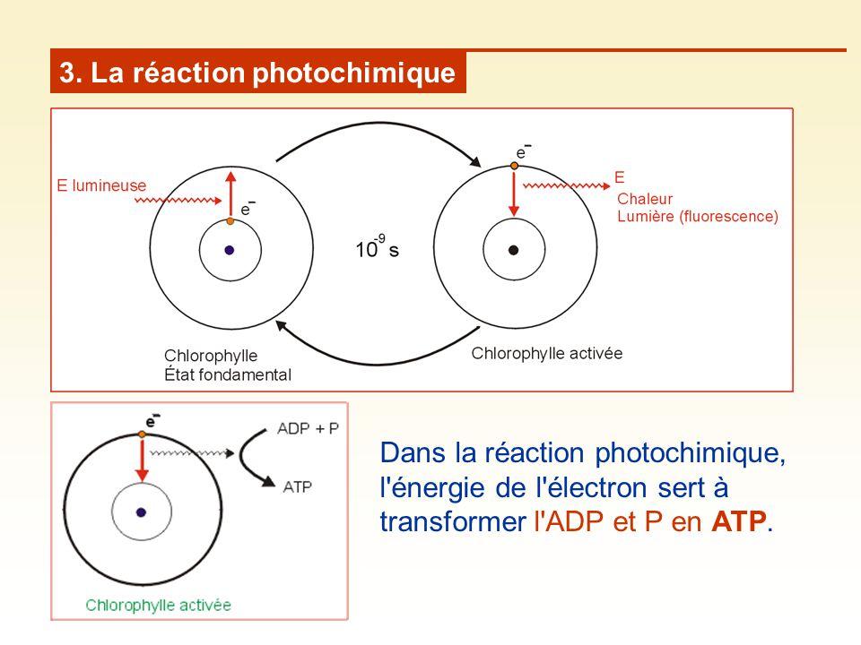 3. La réaction photochimique Dans la réaction photochimique, l'énergie de l'électron sert à transformer l'ADP et P en ATP.