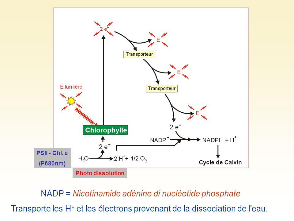 NADP = Nicotinamide adénine di nucléotide phosphate Transporte les H + et les électrons provenant de la dissociation de l'eau. PSII - Chl. a (P680nm)