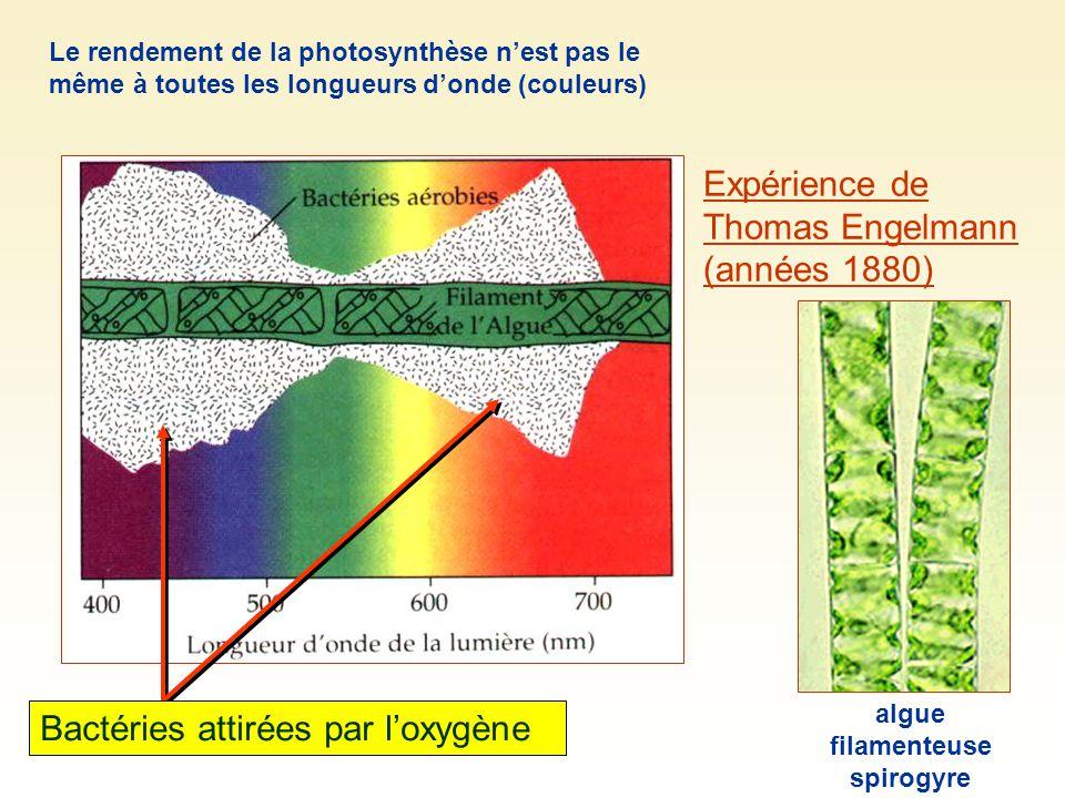 Expérience de Thomas Engelmann (années 1880) Bactéries attirées par loxygène algue filamenteuse spirogyre Le rendement de la photosynthèse nest pas le