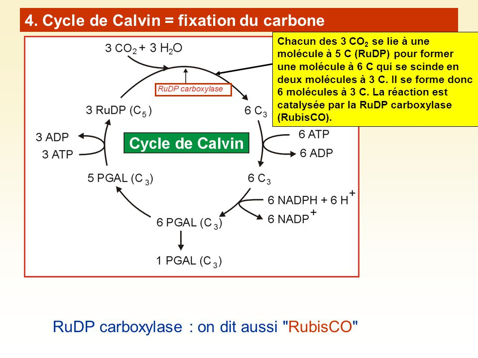 4. Cycle de Calvin = fixation du carbone RuDP carboxylase : on dit aussi