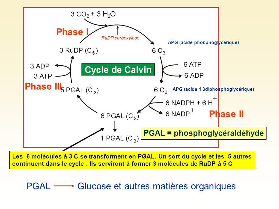 PGALGlucose et autres matières organiques PGAL = phosphoglycéraldéhyde Les 6 molécules à 3 C se transforment en PGAL. Un sort du cycle et les 5 autres