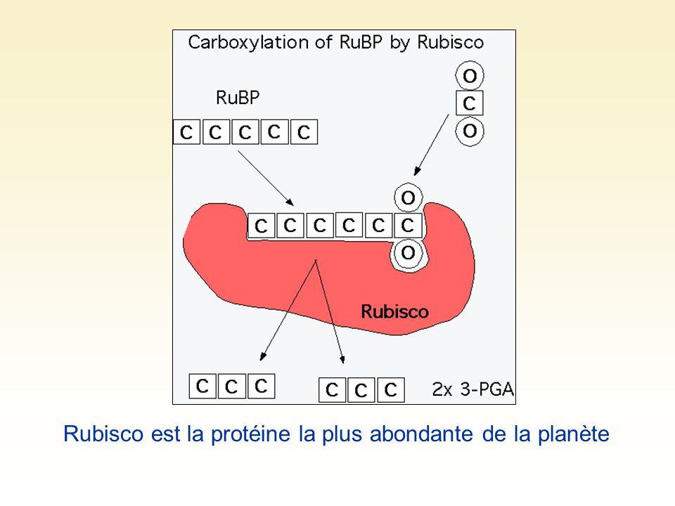 Rubisco est la protéine la plus abondante de la planète