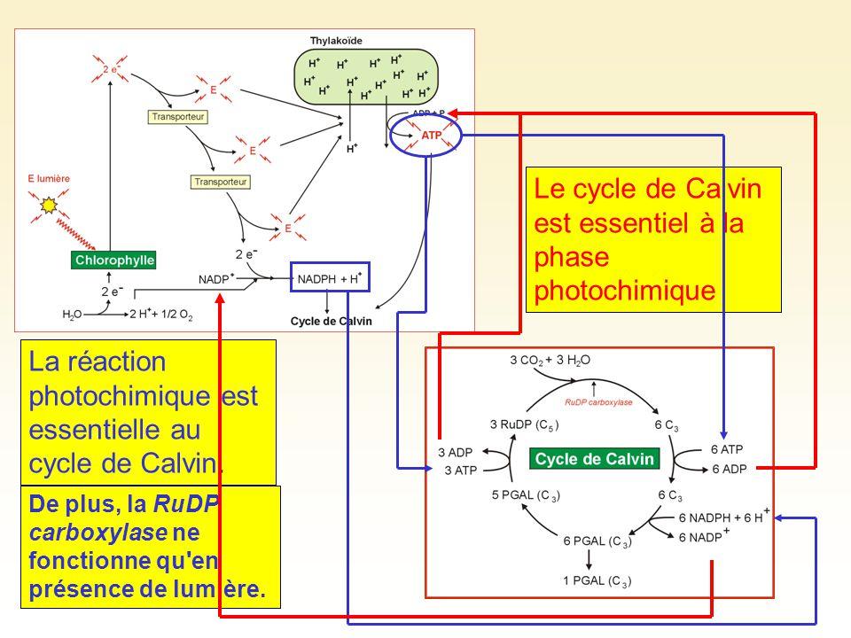 Le cycle de Calvin est essentiel à la phase photochimique La réaction photochimique est essentielle au cycle de Calvin. De plus, la RuDP carboxylase n