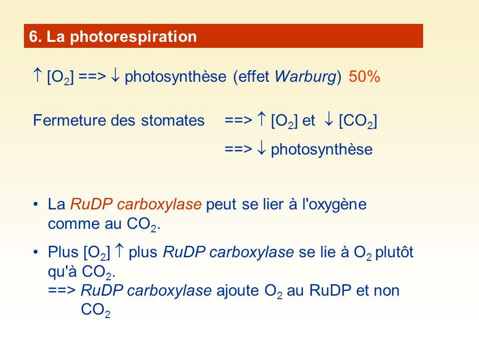 6. La photorespiration [O 2 ] ==> photosynthèse (effet Warburg) 50% Fermeture des stomates ==> [O 2 ] et [CO 2 ] ==> photosynthèse La RuDP carboxylase