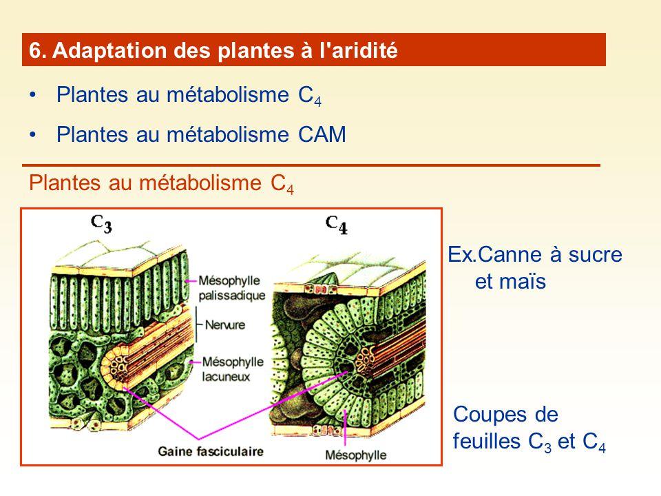 6. Adaptation des plantes à l'aridité Plantes au métabolisme C 4 Plantes au métabolisme CAM Plantes au métabolisme C 4 Coupes de feuilles C 3 et C 4 E