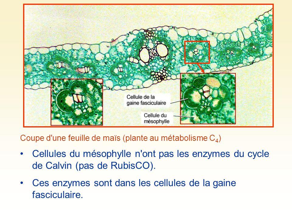 Coupe d'une feuille de maïs (plante au métabolisme C 4 ) Cellules du mésophylle n'ont pas les enzymes du cycle de Calvin (pas de RubisCO). Ces enzymes