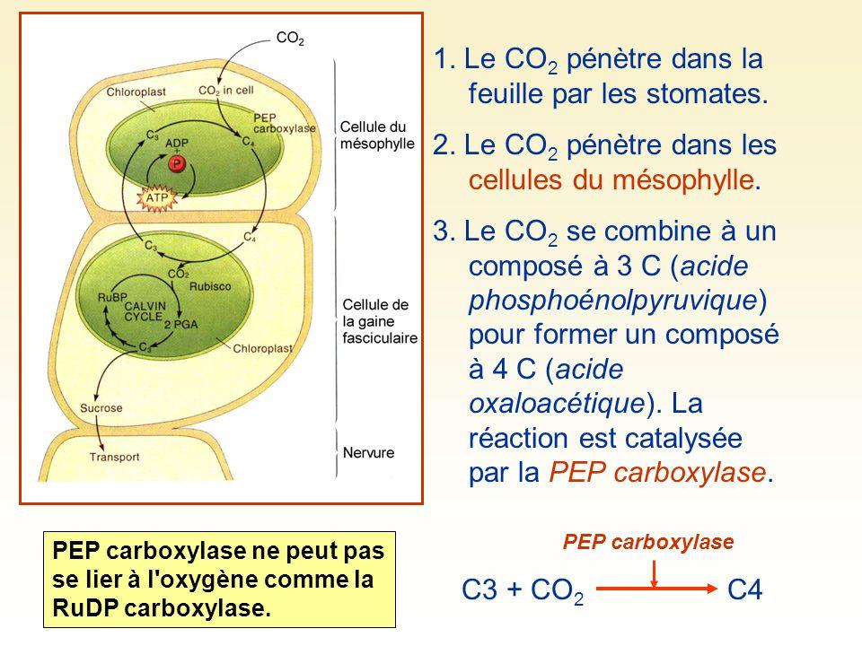 1. Le CO 2 pénètre dans la feuille par les stomates. 2. Le CO 2 pénètre dans les cellules du mésophylle. 3. Le CO 2 se combine à un composé à 3 C (aci