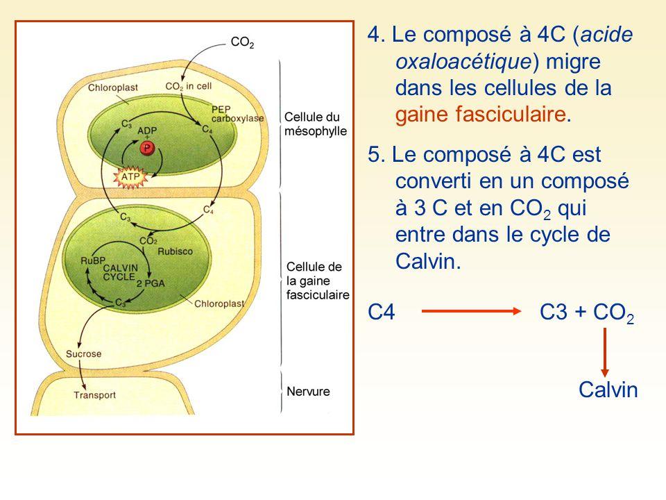 4. Le composé à 4C (acide oxaloacétique) migre dans les cellules de la gaine fasciculaire. 5. Le composé à 4C est converti en un composé à 3 C et en C