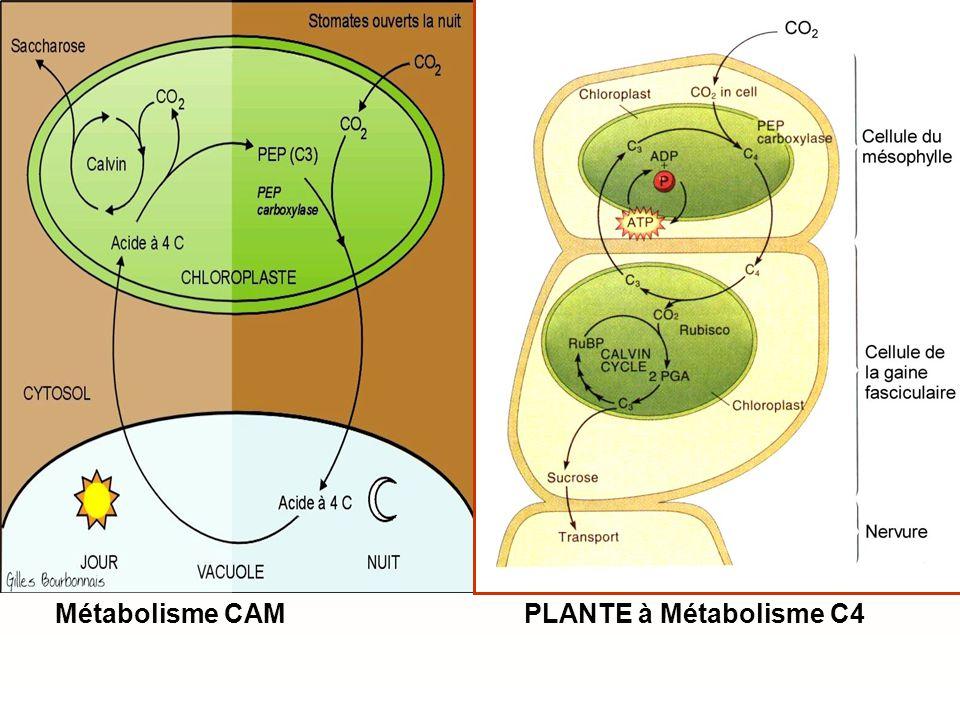 PLANTE à Métabolisme C4