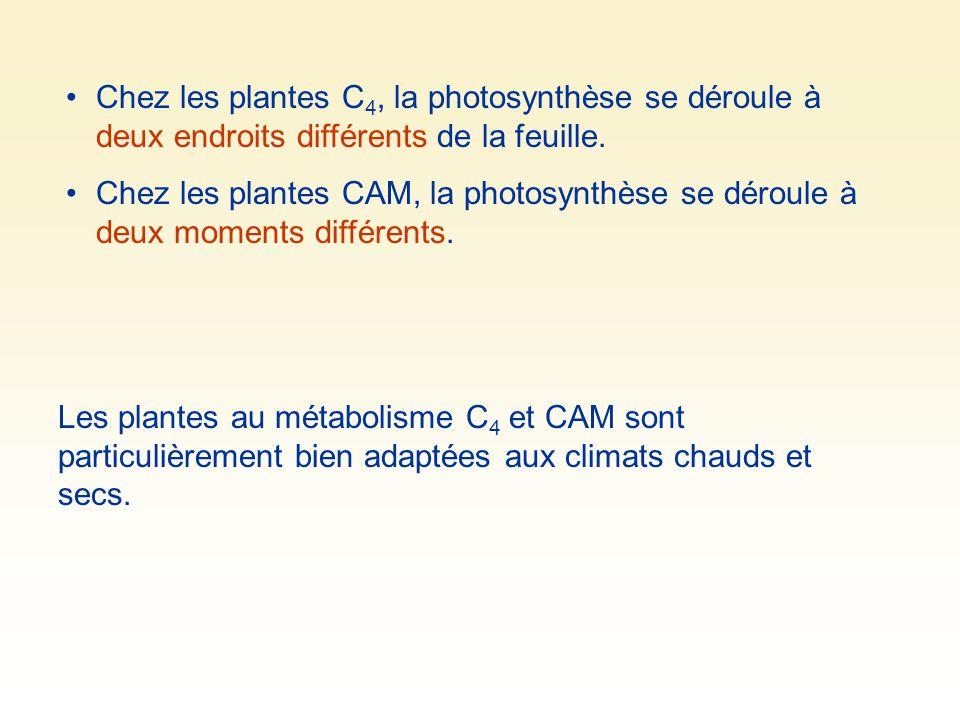Chez les plantes C 4, la photosynthèse se déroule à deux endroits différents de la feuille. Chez les plantes CAM, la photosynthèse se déroule à deux m