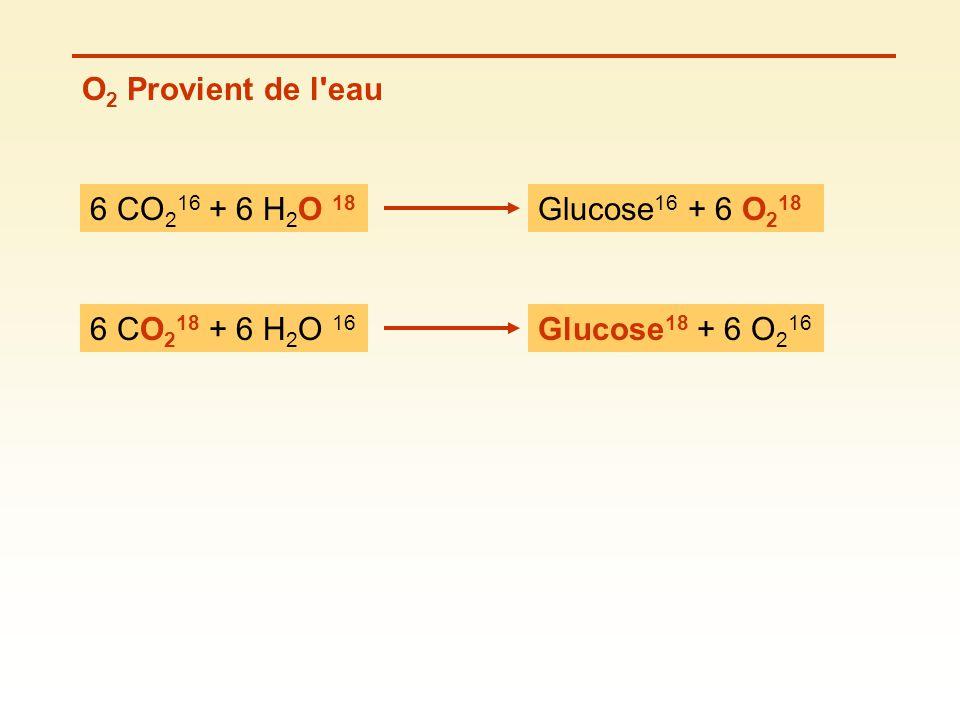 O 2 Provient de l'eau 6 CO 2 16 + 6 H 2 O 18 Glucose 16 + 6 O 2 18 6 CO 2 18 + 6 H 2 O 16 Glucose 18 + 6 O 2 16