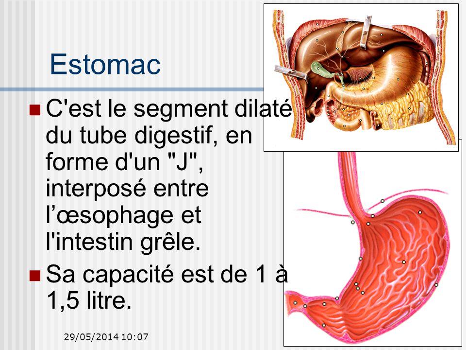 29/05/2014 10:0919 Estomac C est le segment dilaté du tube digestif, en forme d un J , interposé entre lœsophage et l intestin grêle.