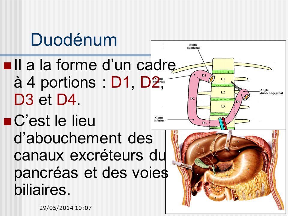 29/05/2014 10:0924 Duodénum Il a la forme dun cadre à 4 portions : D1, D2, D3 et D4.