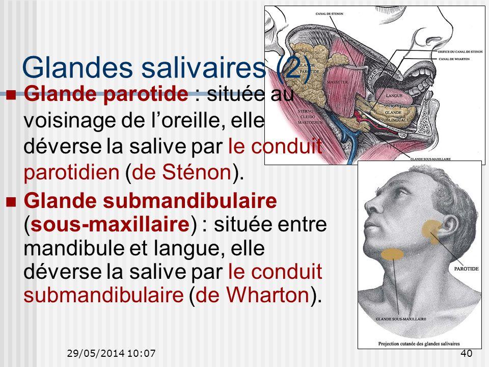 29/05/2014 10:0940 Glandes salivaires (2) Glande parotide : située au voisinage de loreille, elle déverse la salive par le conduit parotidien (de Sténon).