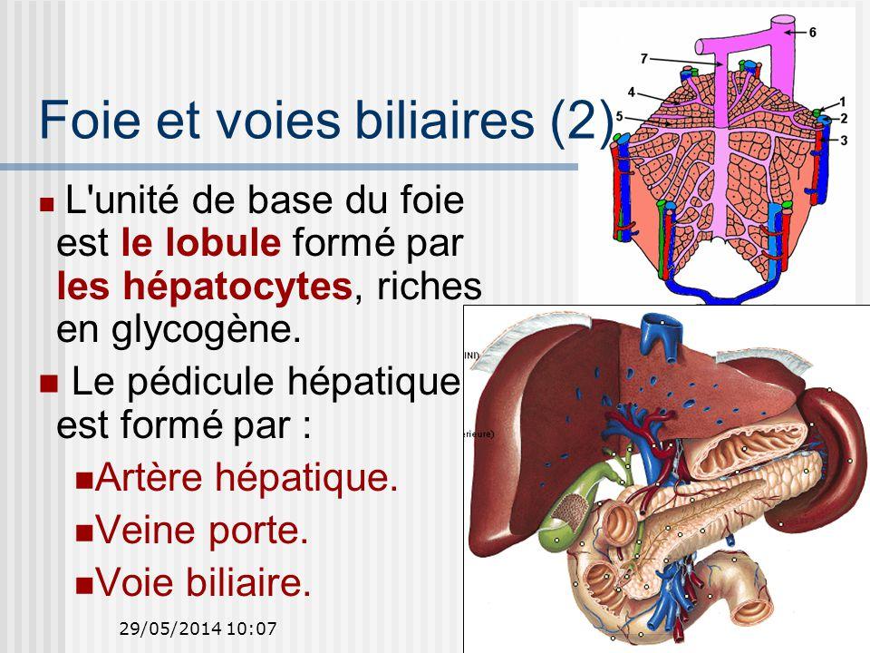 29/05/2014 10:0944 Foie et voies biliaires (2) L unité de base du foie est le lobule formé par les hépatocytes, riches en glycogène.