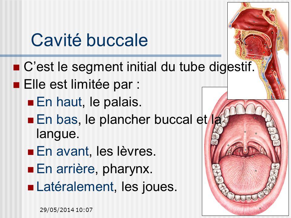 29/05/2014 10:097 Cavité buccale Cest le segment initial du tube digestif.
