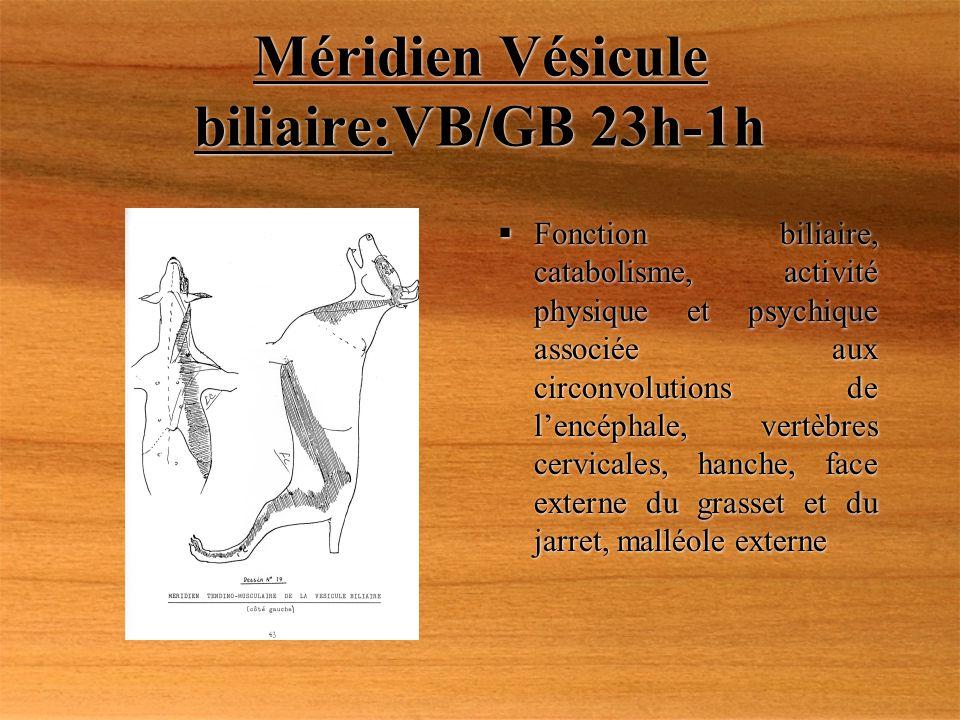 Méridien Vésicule biliaire:VB/GB 23h-1h Fonction biliaire, catabolisme, activité physique et psychique associée aux circonvolutions de lencéphale, ver