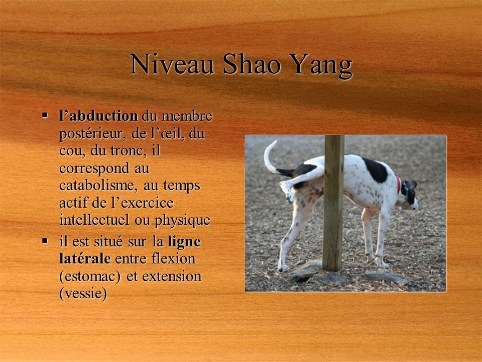Niveau Shao Yang labduction du membre postérieur, de lœil, du cou, du tronc, il correspond au catabolisme, au temps actif de lexercice intellectuel ou