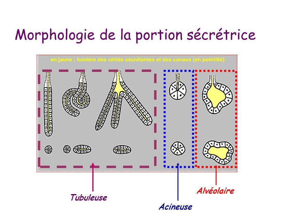 Morphologie de la portion sécrétrice Alvéolaire Acineuse Tubuleuse