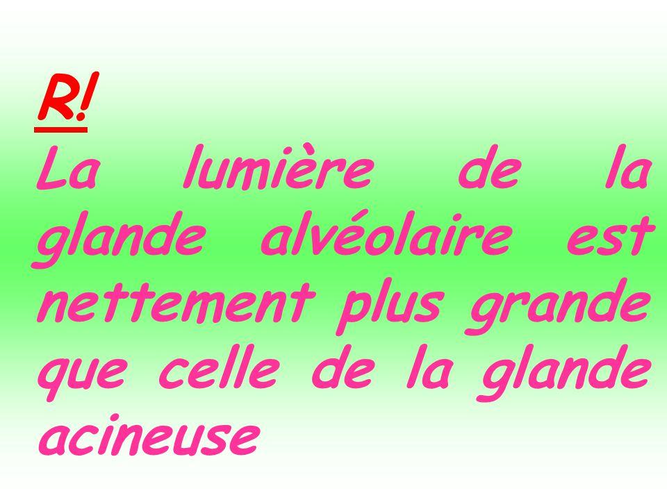 R! La lumière de la glande alvéolaire est nettement plus grande que celle de la glande acineuse