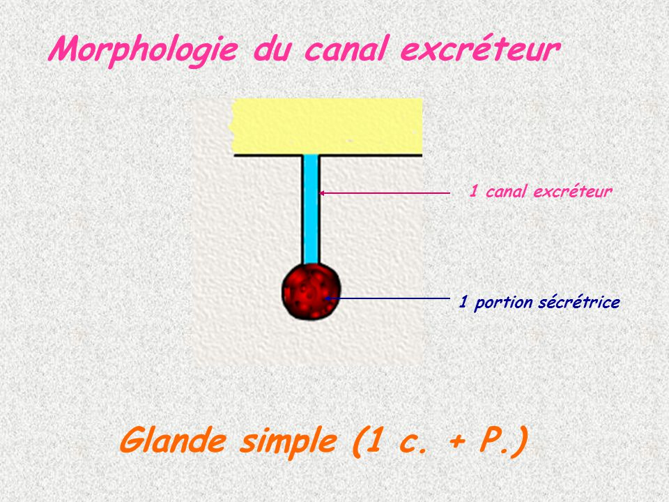 Morphologie du canal excréteur 1 canal excréteur 1 portion sécrétrice Glande simple (1 c. + P.)