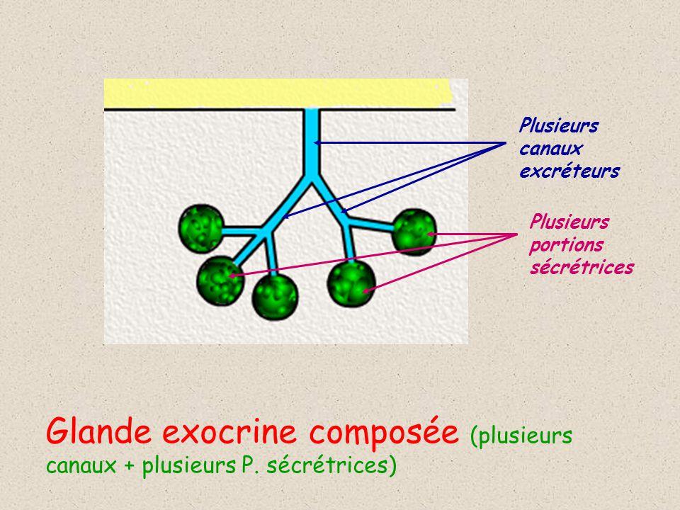 Plusieurs canaux excréteurs Plusieurs portions sécrétrices Glande exocrine composée (plusieurs canaux + plusieurs P.