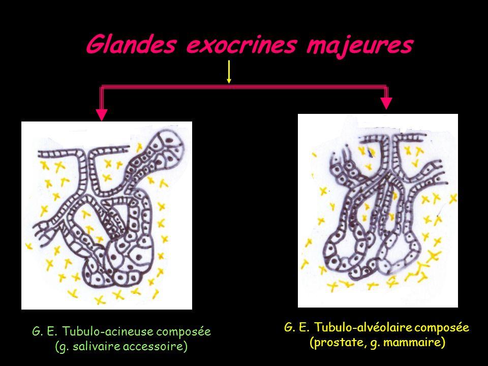 Glandes exocrines majeures G.E. Tubulo-acineuse composée (g.