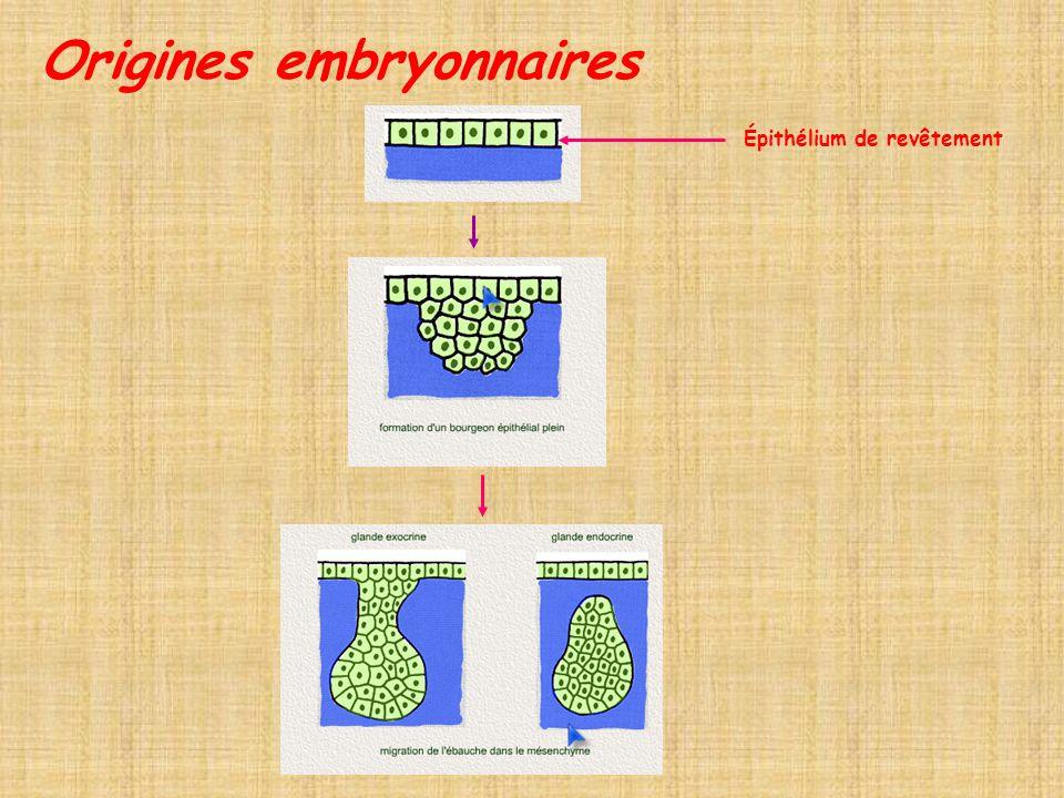 Origines embryonnaires Épithélium de revêtement
