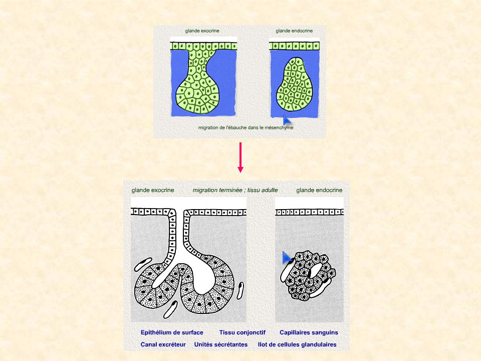 En tenant compte du critère morphologique (forme du canal et forme de la portion sécrétrice), on peut définir plusieurs exemples