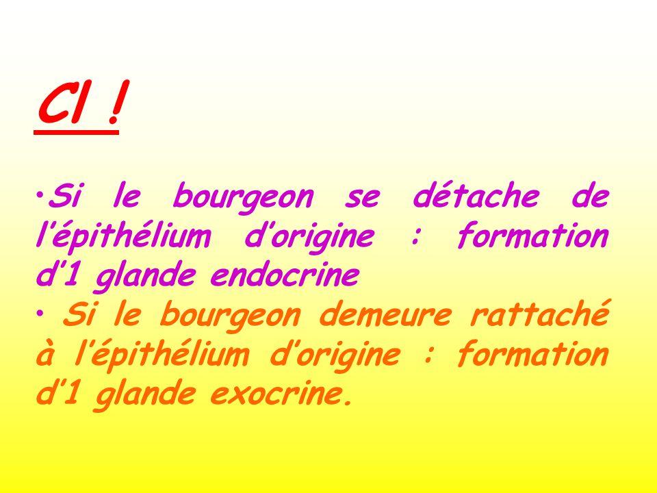 Cl ! Si le bourgeon se détache de lépithélium dorigine : formation d1 glande endocrine Si le bourgeon demeure rattaché à lépithélium dorigine : format