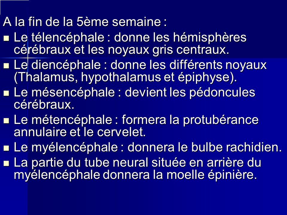 A la fin de la 5ème semaine : Le télencéphale : donne les hémisphères cérébraux et les noyaux gris centraux. Le diencéphale : donne les différents noy