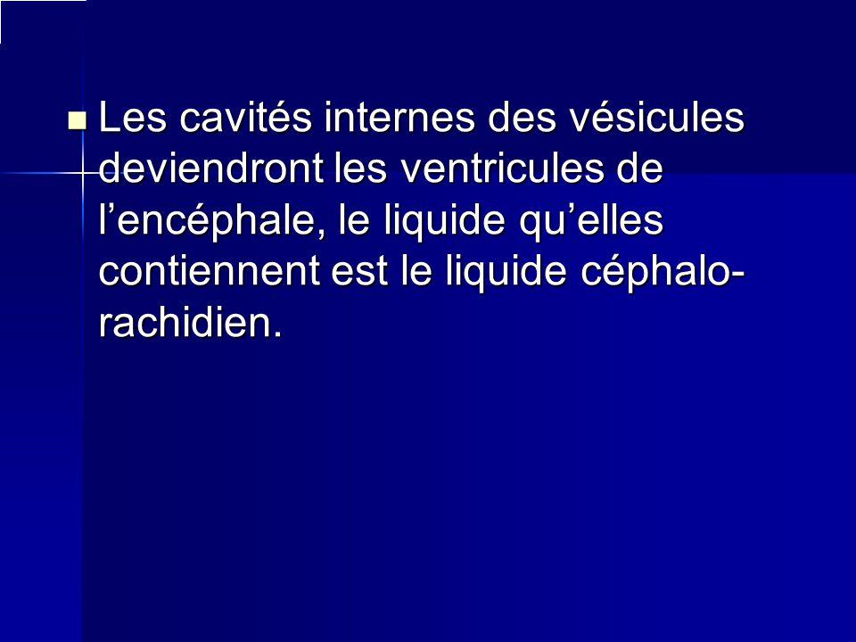 Les cavités internes des vésicules deviendront les ventricules de lencéphale, le liquide quelles contiennent est le liquide céphalo- rachidien. Les ca
