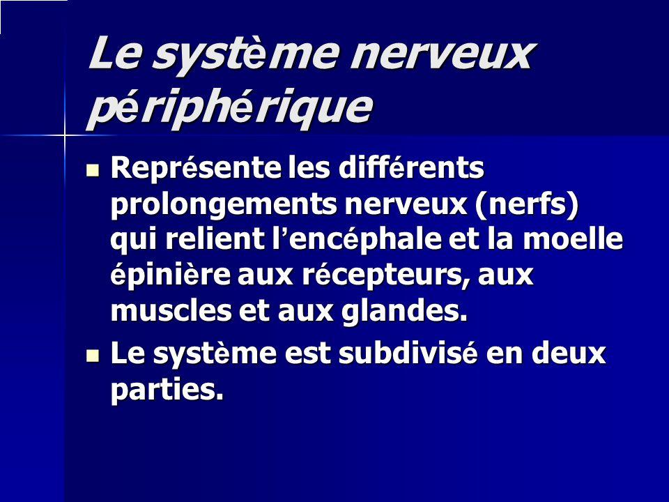 Le système nerveux périphérique Représente les différents prolongements nerveux (nerfs) qui relient lencéphale et la moelle épinière aux récepteurs, a