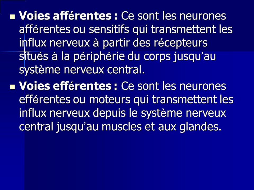 Voies afférentes : Ce sont les neurones afférentes ou sensitifs qui transmettent les influx nerveux à partir des récepteurs situés à la périphérie du