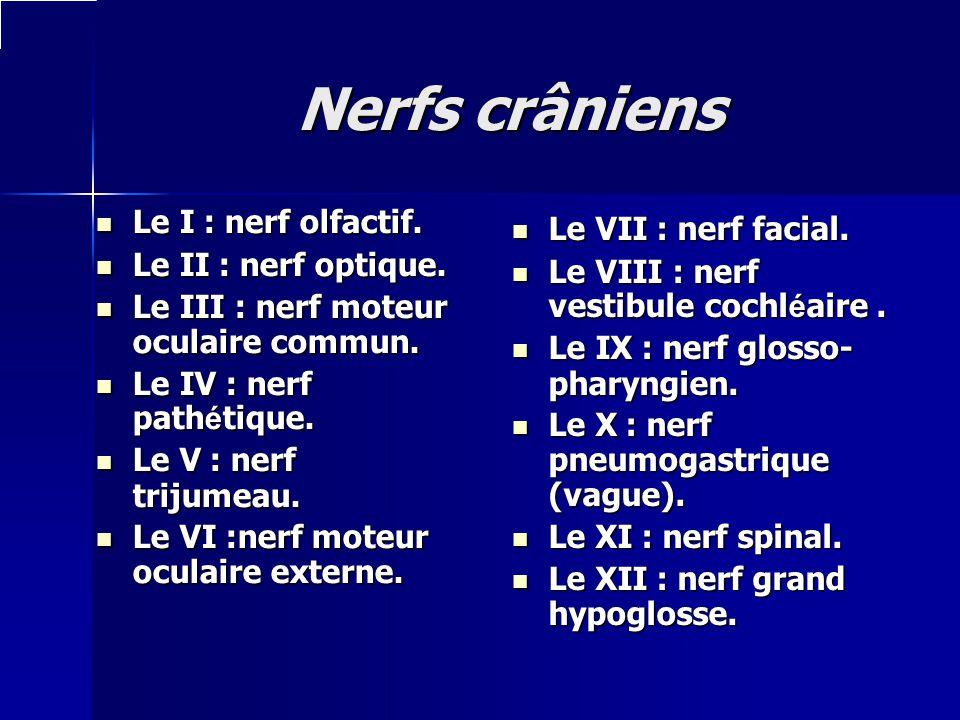 Nerfs crâniens Le I : nerf olfactif. Le I : nerf olfactif. Le II : nerf optique. Le II : nerf optique. Le III : nerf moteur oculaire commun. Le III :