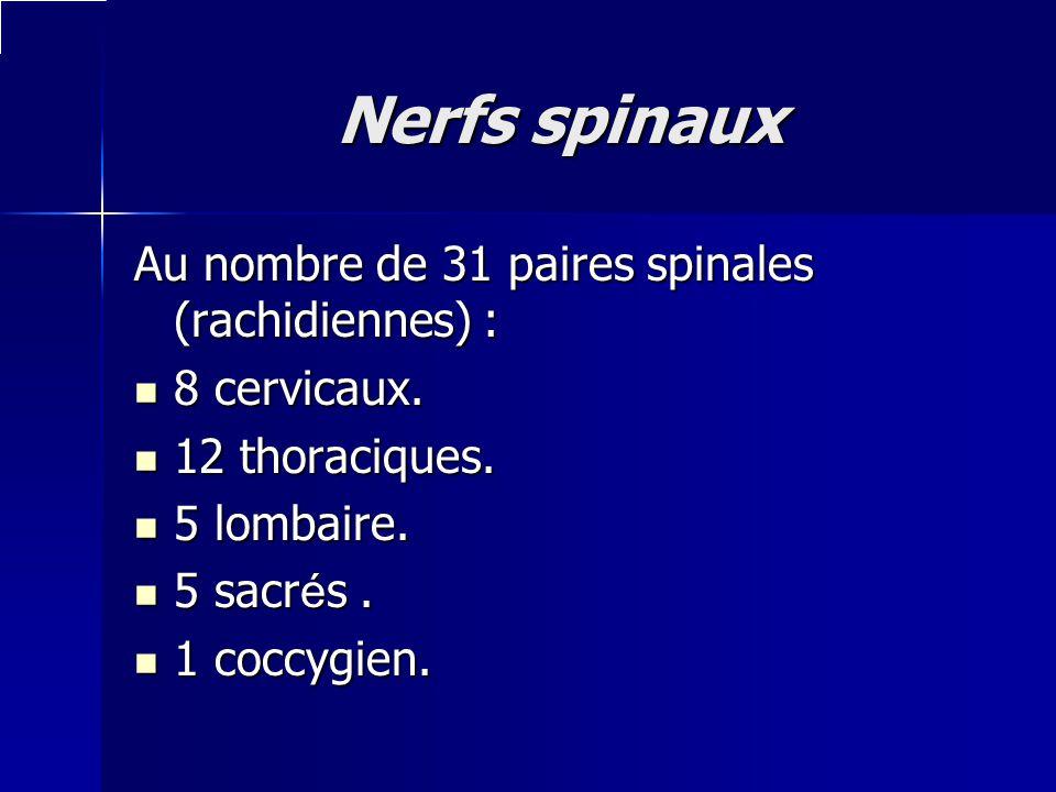 Nerfs spinaux Au nombre de 31 paires spinales (rachidiennes) : 8 cervicaux. 8 cervicaux. 12 thoraciques. 12 thoraciques. 5 lombaire. 5 lombaire. 5 sac