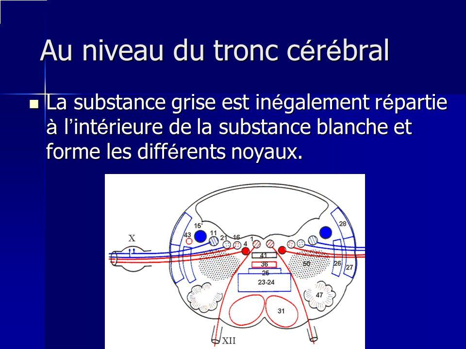 Au niveau du tronc c é r é bral La substance grise est in é galement r é partie à l int é rieure de la substance blanche et forme les diff é rents noy