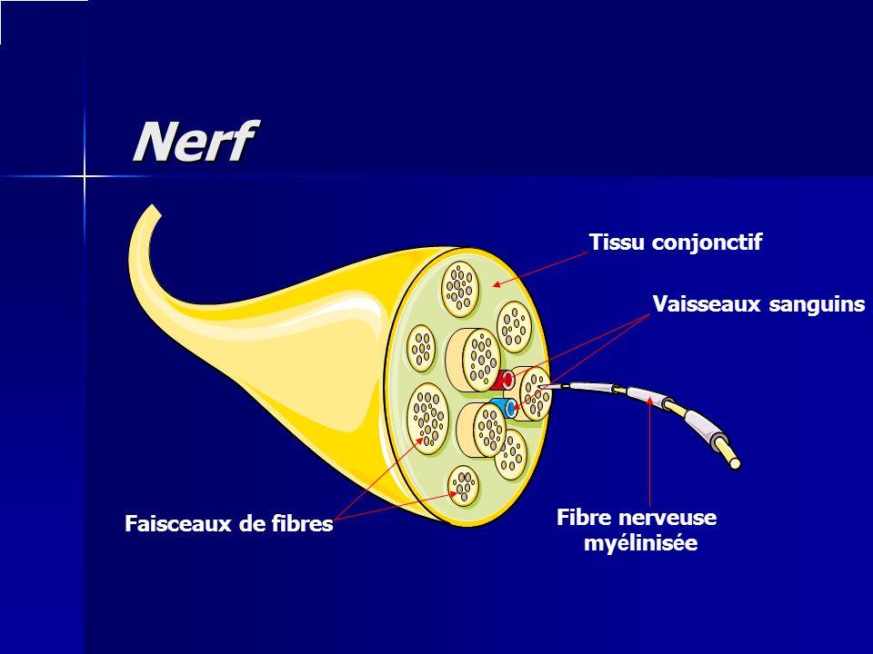 Nerf Nerf Tissu conjonctif Vaisseaux sanguins Fibre nerveuse my é linis é e Faisceaux de fibres